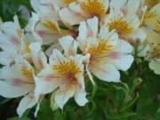 Alstroemeria Ligtu-ryhmä