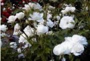Rosa Polyantha-ryhmä 'Schneewittchen'